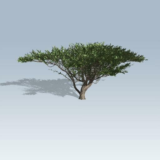 Umbrella Thorn Tree V7 Speedtree