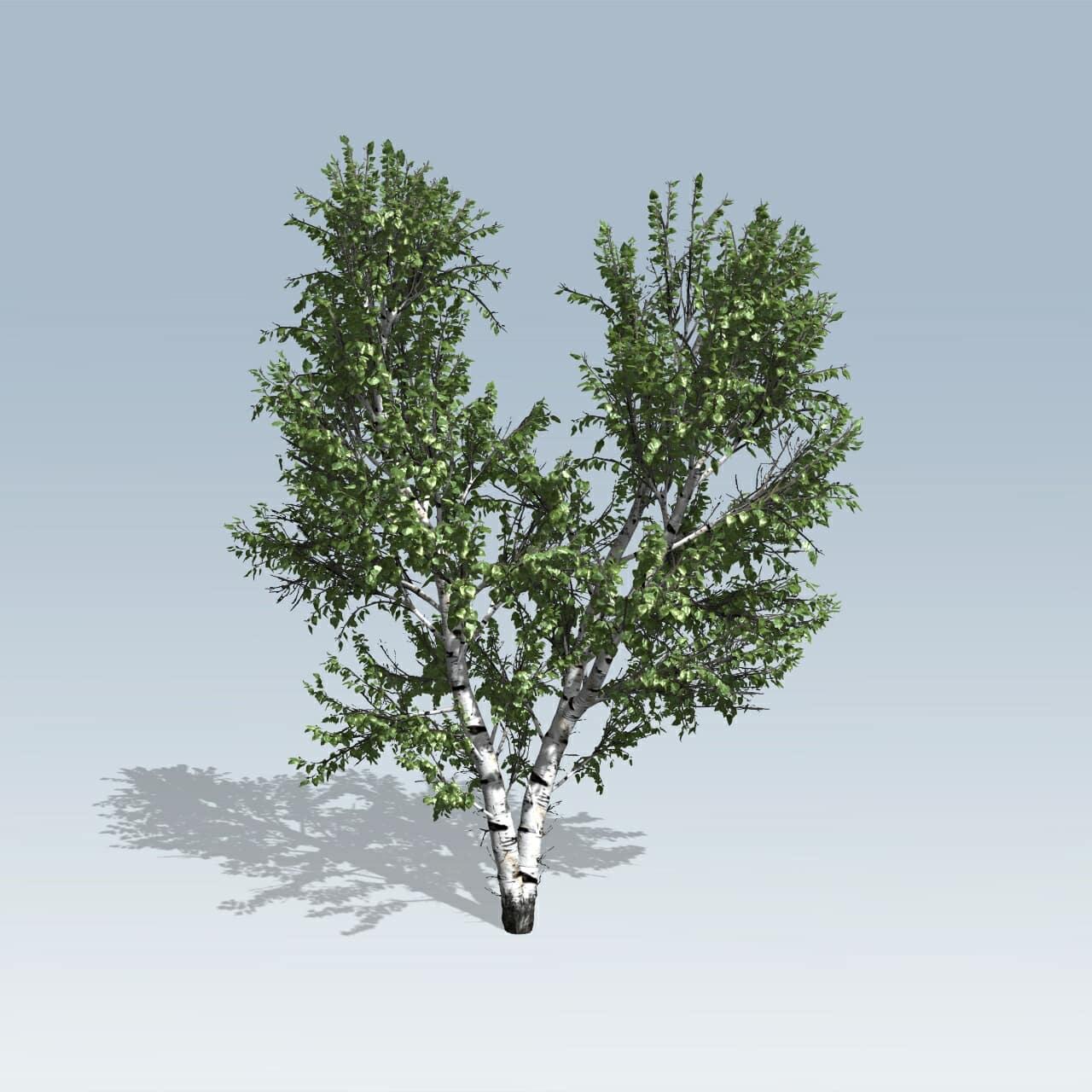 European White Birch (v7)