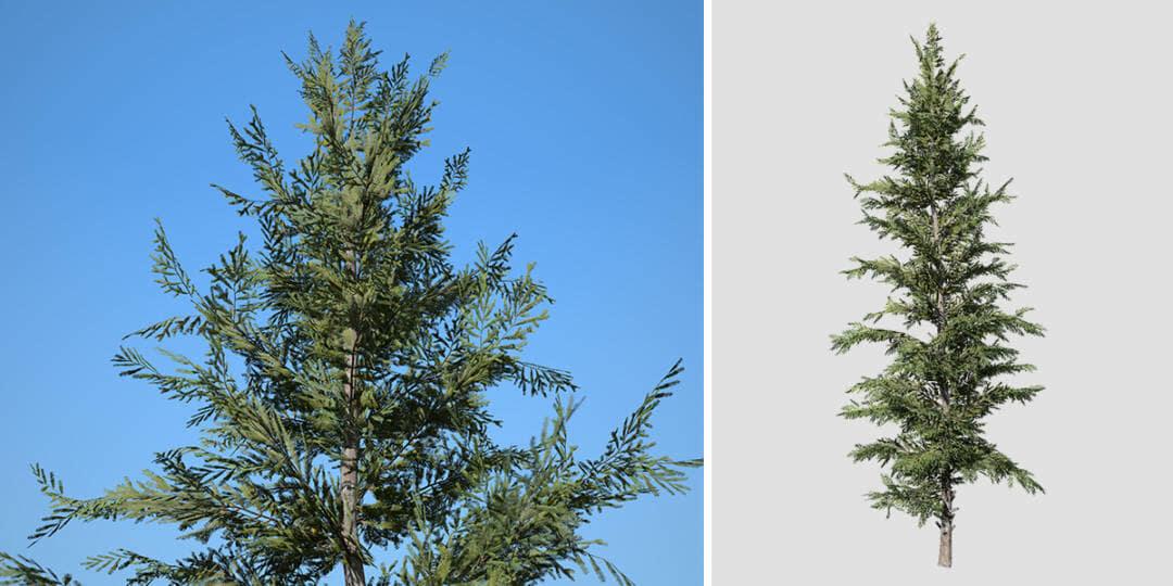 Norway Spruce: Desktop Forest (Full)