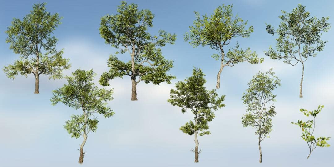 American Sycamore Species Pack